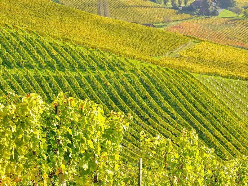 Die sonnigen Weingärten laden zum Wandern und Spazieren ein.